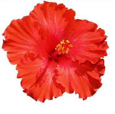 hibiscus ayurvedic hair oils