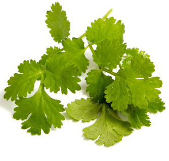 coriander for hair re-growth